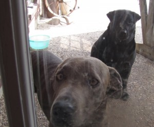 Labradors - Sherlock and Lina viewed through my muddy paw printed back door